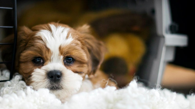 A puppy lying in a crate looking out