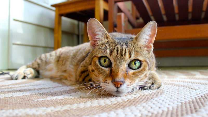A cat lying down on a carpet