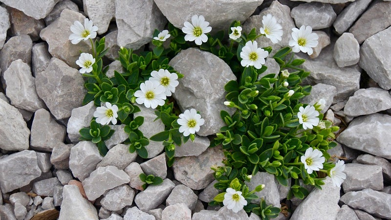 Cerastium plant growing up through rocks
