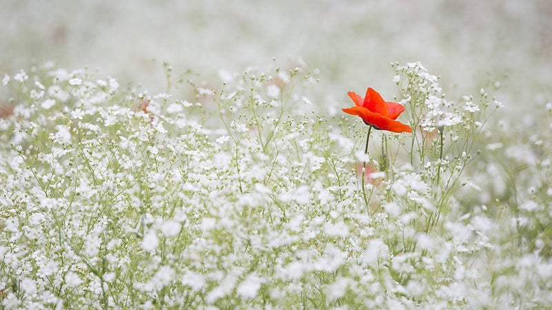 A poppy flower in a field of white flowers