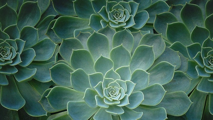 A close up view of four green succulent plants